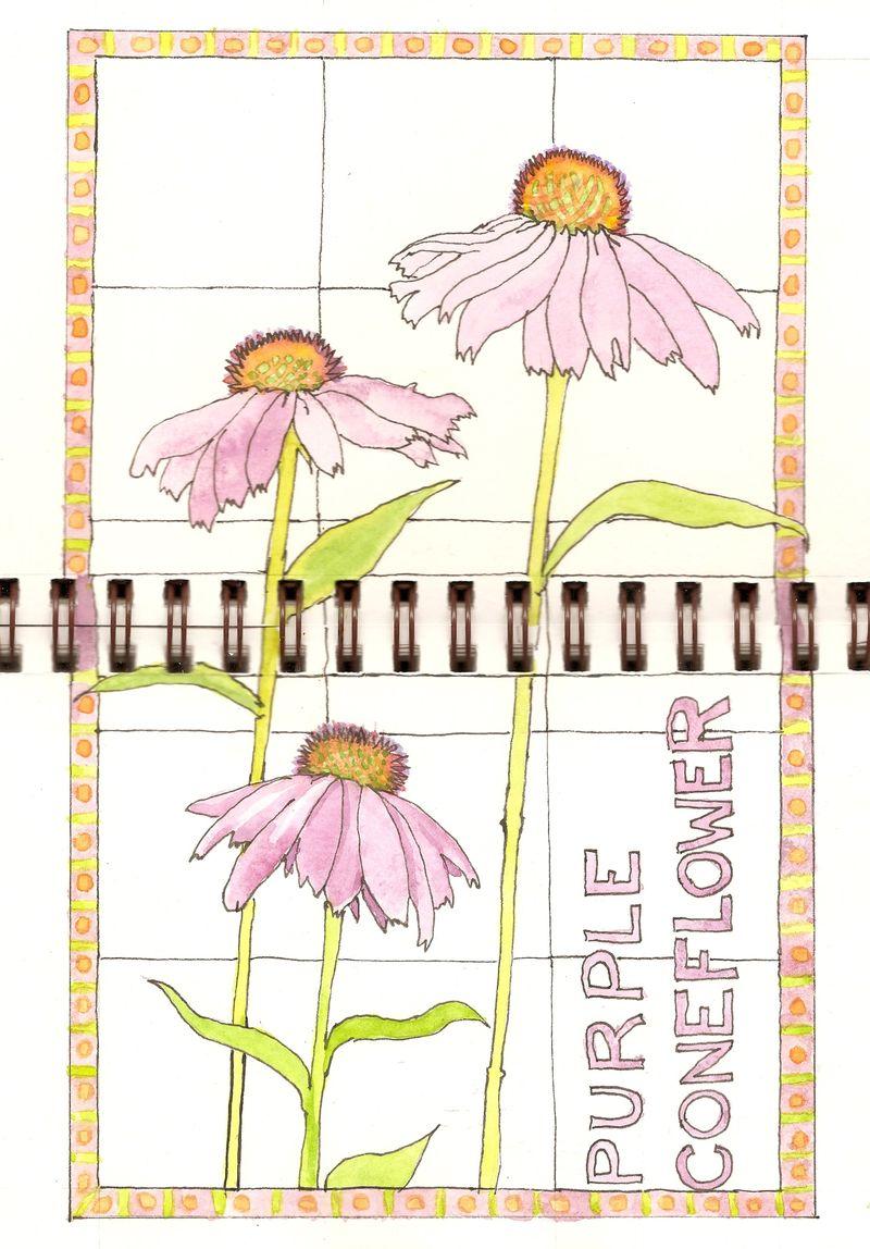Purple Coneflower. Watercolor and pen.