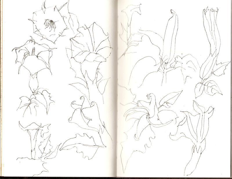 Datura. pen sketches