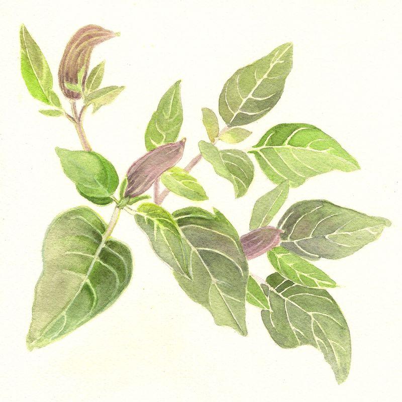 Datura Leaf study.