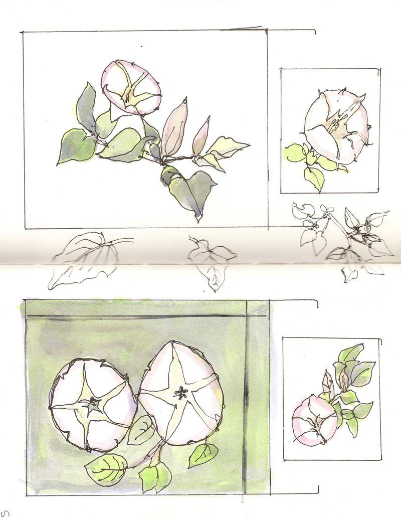 Datura sketches