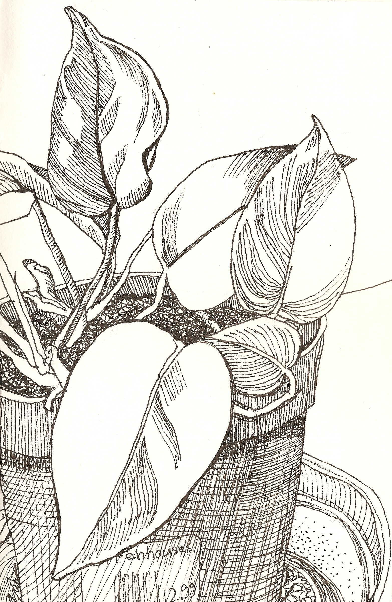 Pothos Pen Drawing Mary Lawler Blog